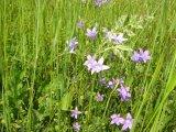 rozkvetlé modré zvonečky na louce - luční kvítí