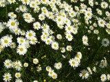 rozkvetlé bílé kopretiny na louce