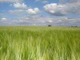 Po stopách vodárenské soustavy - žitné pole a modré nebe