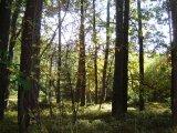 Údolím Lužnice do Dobronic - borový les